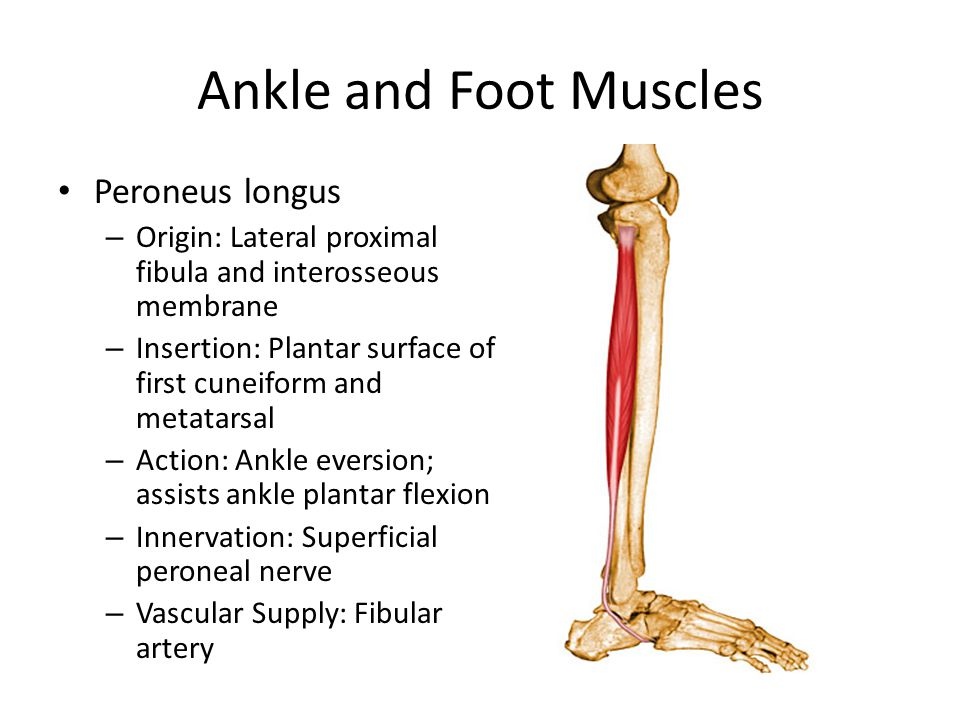 Ankle and Foot Muscles Peroneus longus