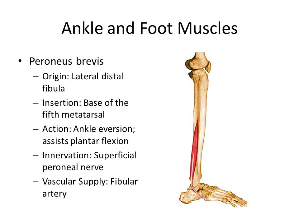 Ankle and Foot Muscles Peroneus brevis Origin: Lateral distal fibula