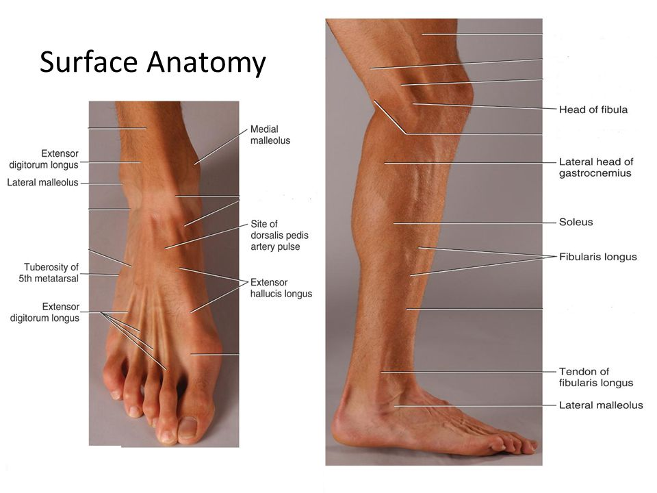 Posterior ankle anatomy