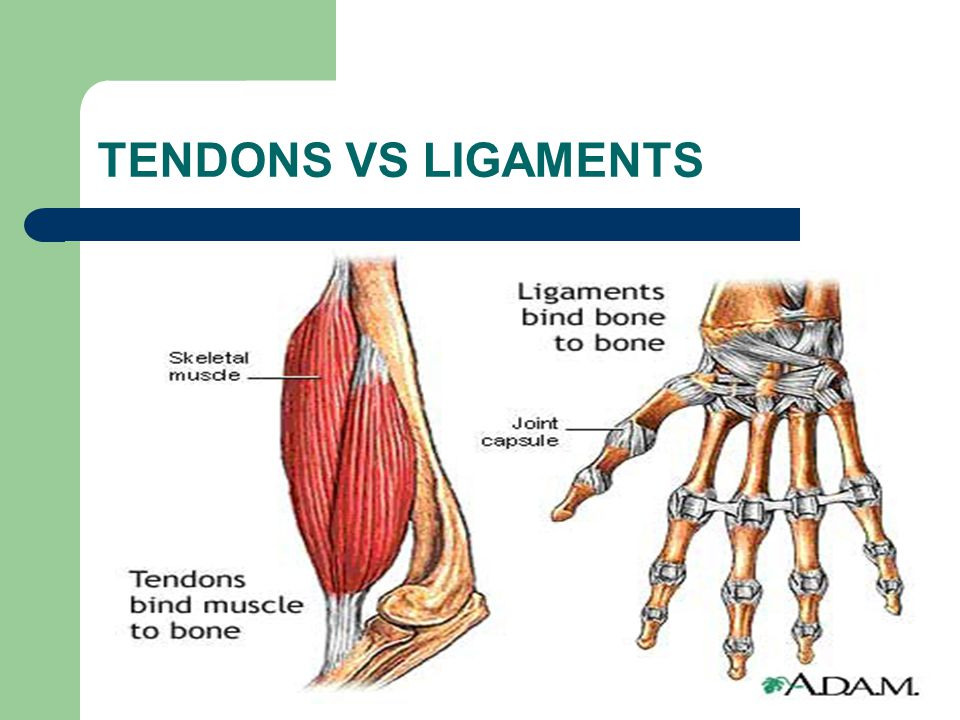 TENDONS VS LIGAMENTS