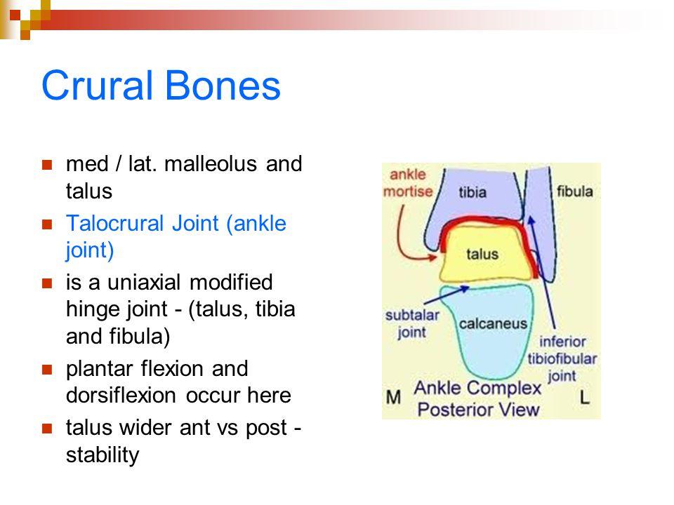 Crural Bones med / lat. malleolus and talus