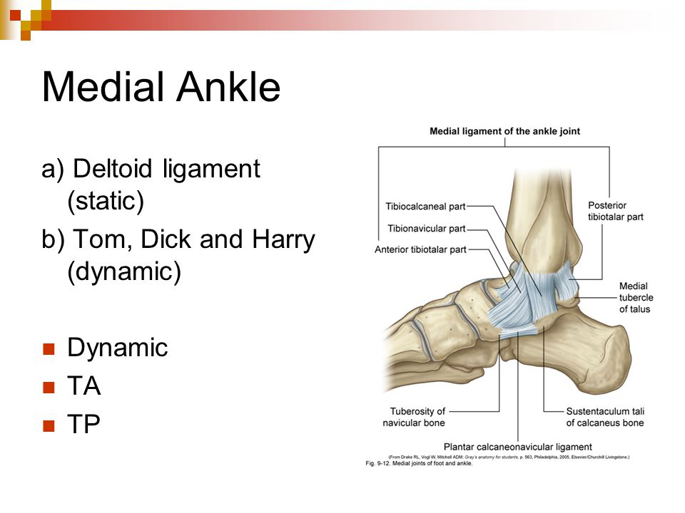 Medial Ankle a) Deltoid ligament (static)
