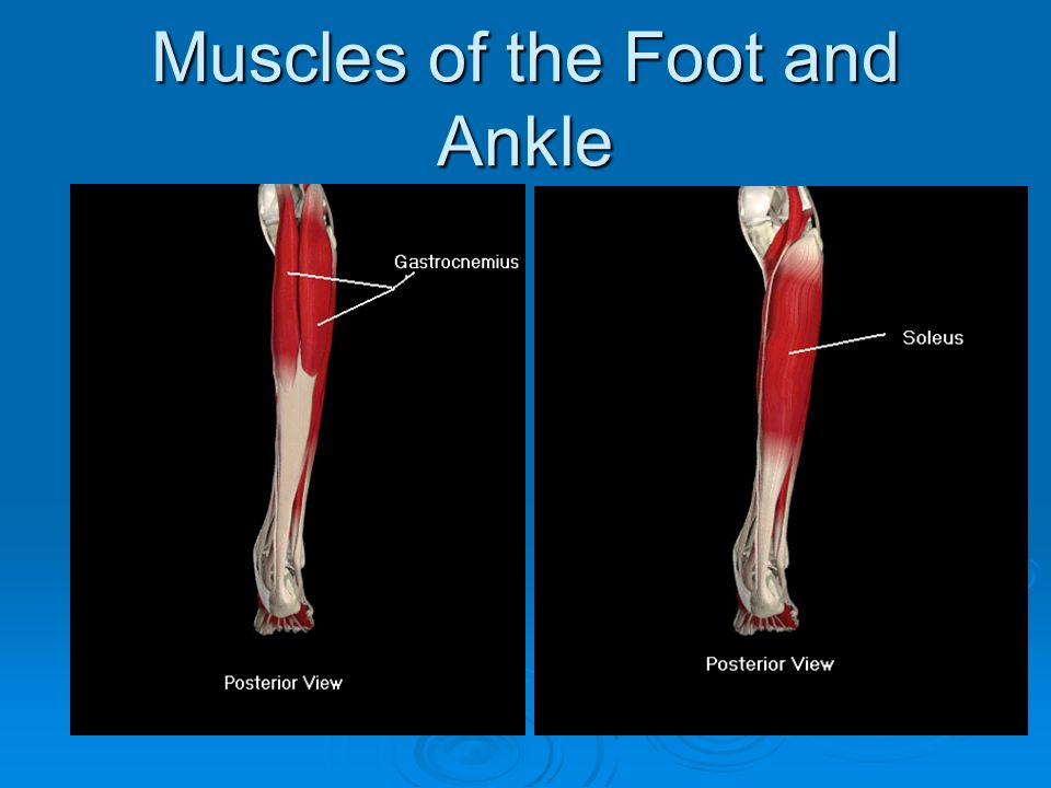 Muscles of the Foot and Ankle