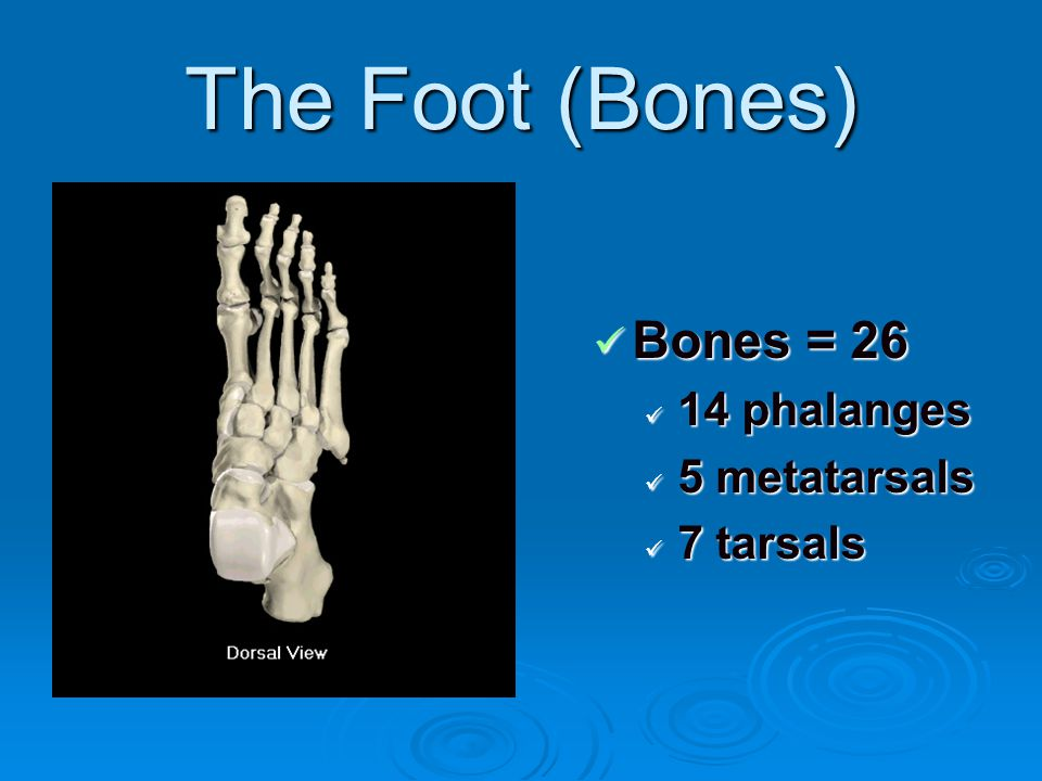 The Foot (Bones) Bones = 26 14 phalanges 5 metatarsals 7 tarsals