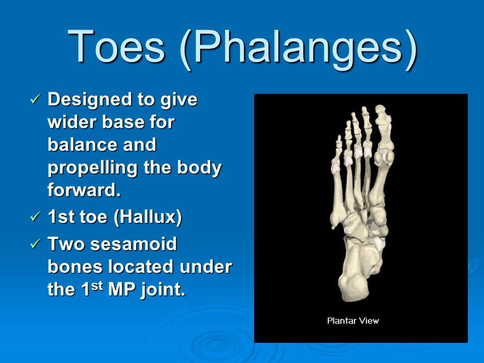 Toes (Phalanges) Designed to give wider base for balance and propelling the body forward. 1st toe (Hallux)