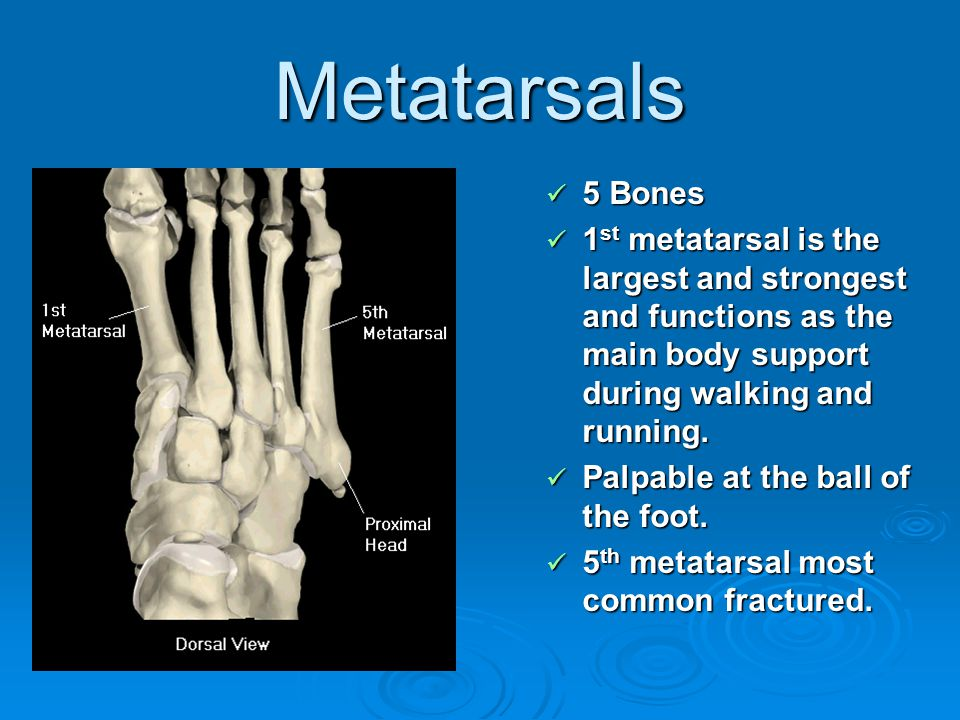 Metatarsals 5 Bones. 1st metatarsal is the largest and strongest and functions as the main body support during walking and running.