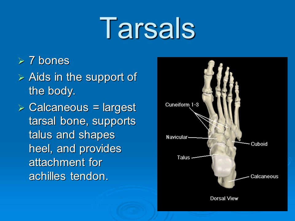Tarsals 7 bones Aids in the support of the body.