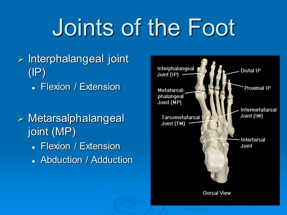 Joints of the Foot Interphalangeal joint (IP)