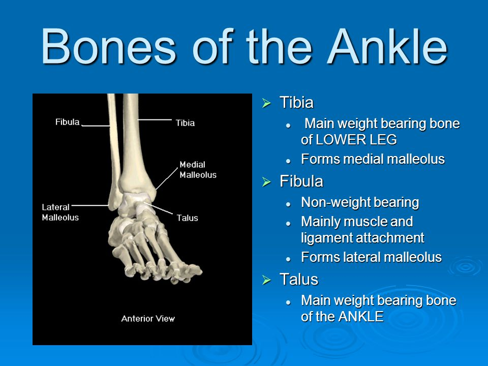 Bones of the Ankle Tibia Fibula Talus