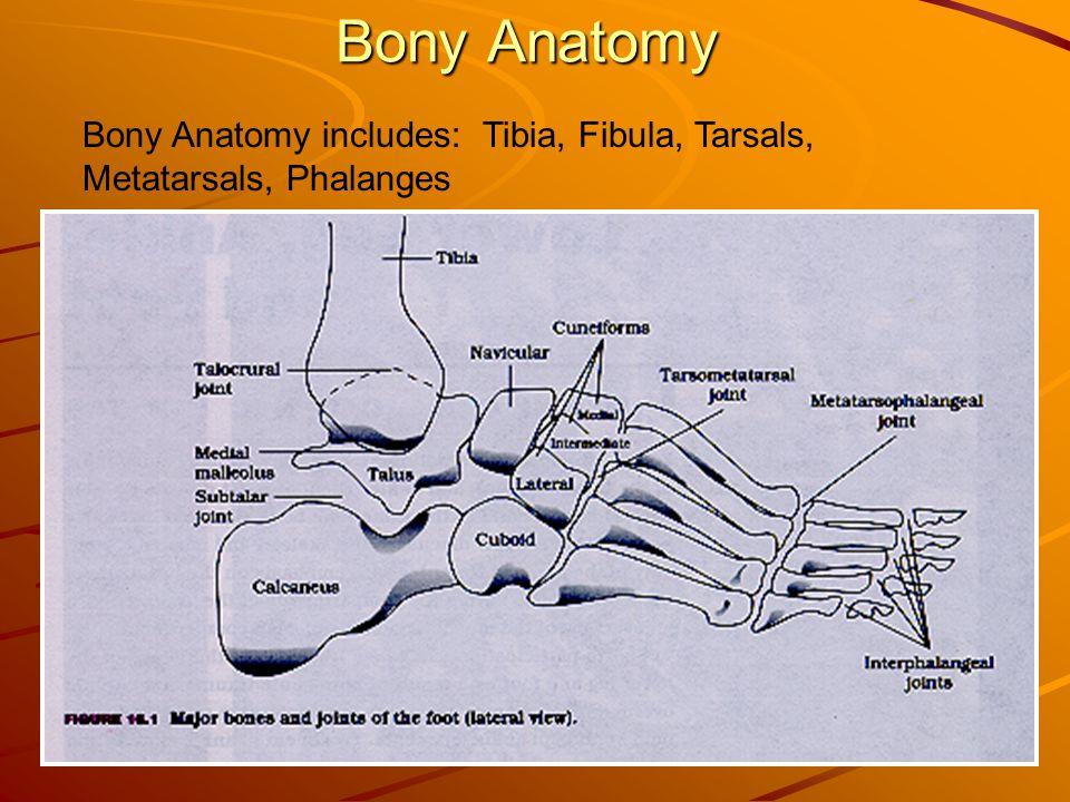 Bony Anatomy Bony Anatomy includes: Tibia, Fibula, Tarsals, Metatarsals, Phalanges