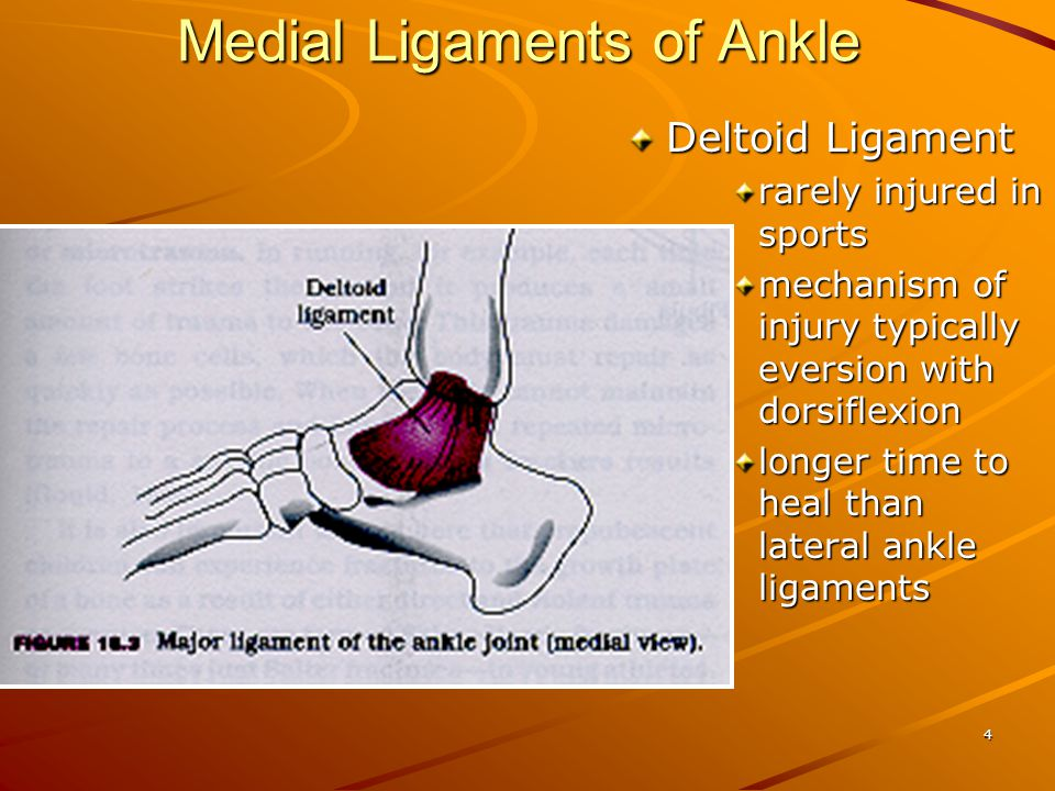 Medial Ligaments of Ankle