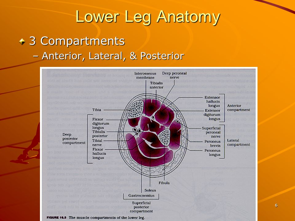 Lower Leg Anatomy 3 Compartments Anterior, Lateral, & Posterior