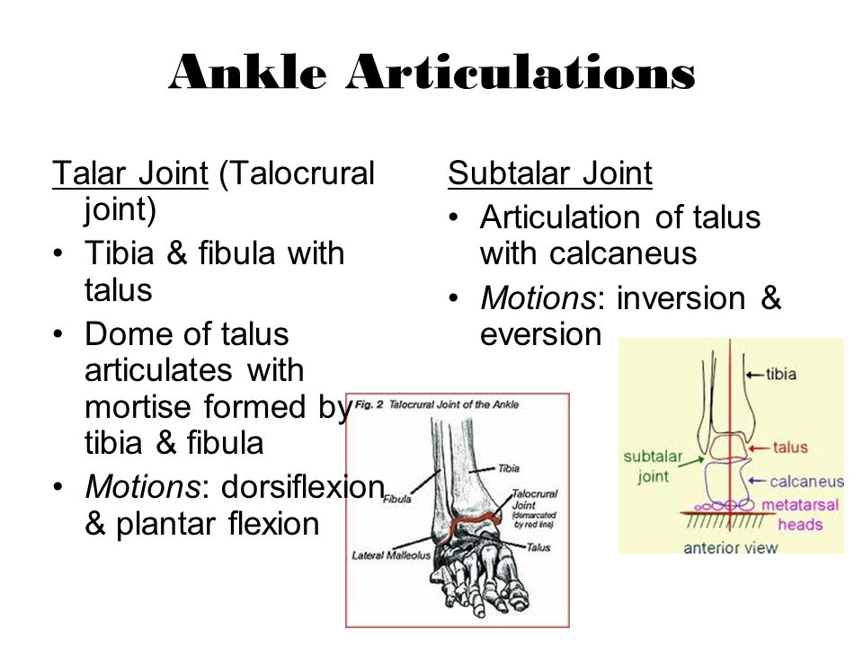 Ankle Articulations Talar Joint (Talocrural joint)