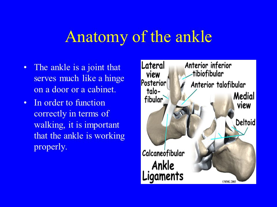 Anatomy of the ankle The ankle is a joint that serves much like a hinge on a door or a cabinet.