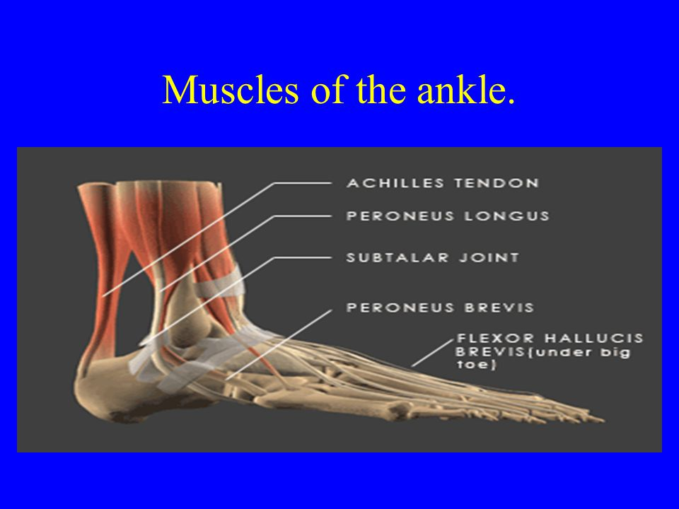 Muscles of the ankle. Peroneus Longus Peroneus Brevis