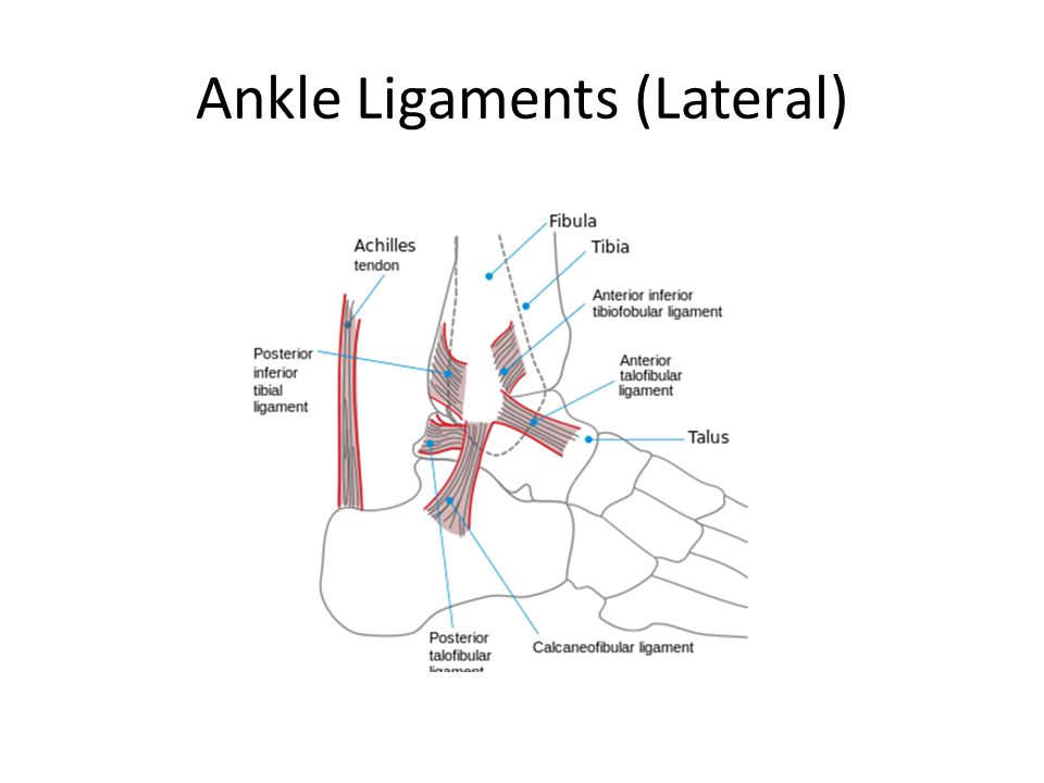 Ankle Ligaments (Lateral)