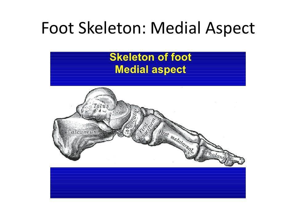Foot Skeleton: Medial Aspect