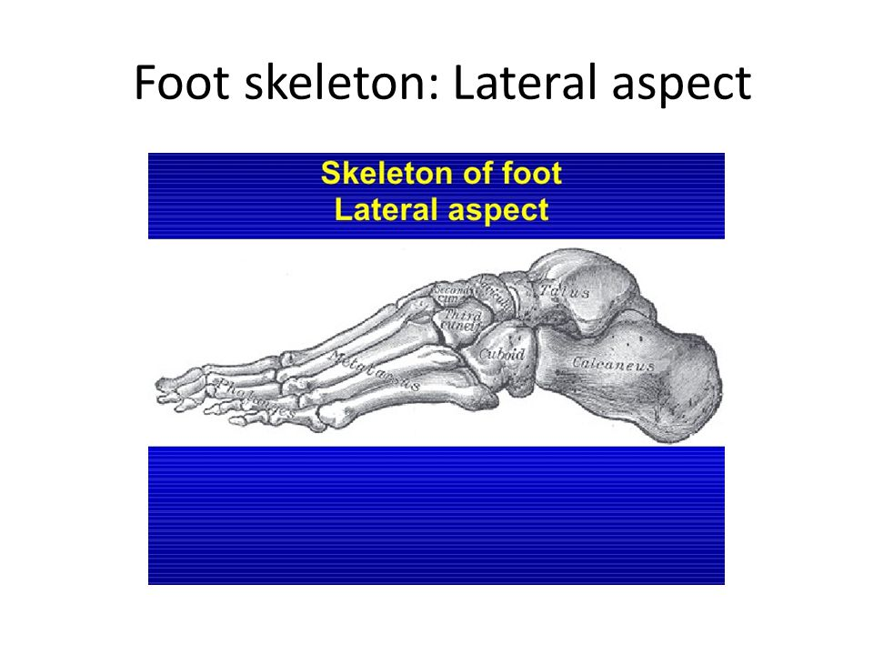 Foot skeleton: Lateral aspect