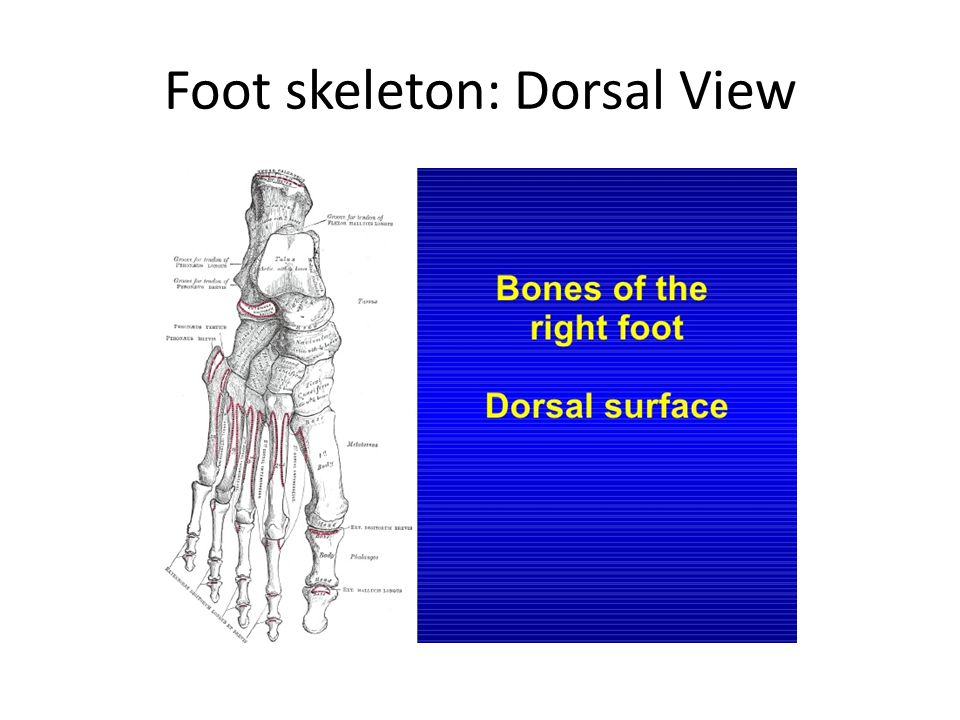 Foot skeleton: Dorsal View