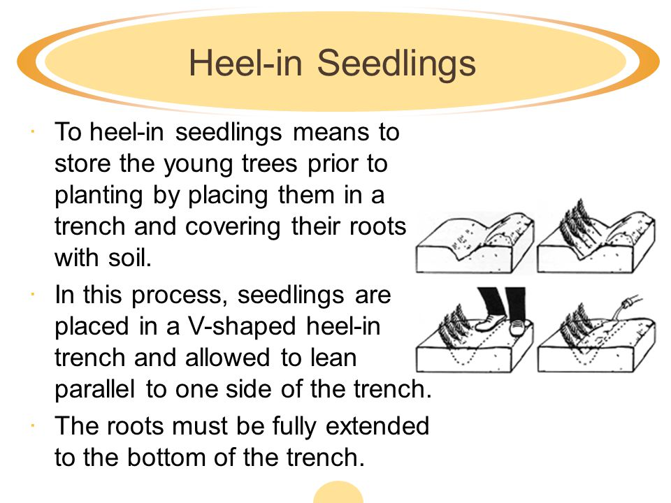 Heel-in Seedlings