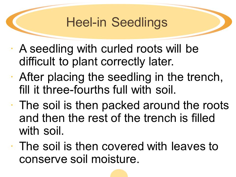 Heel-in Seedlings A seedling with curled roots will be difficult to plant correctly later.