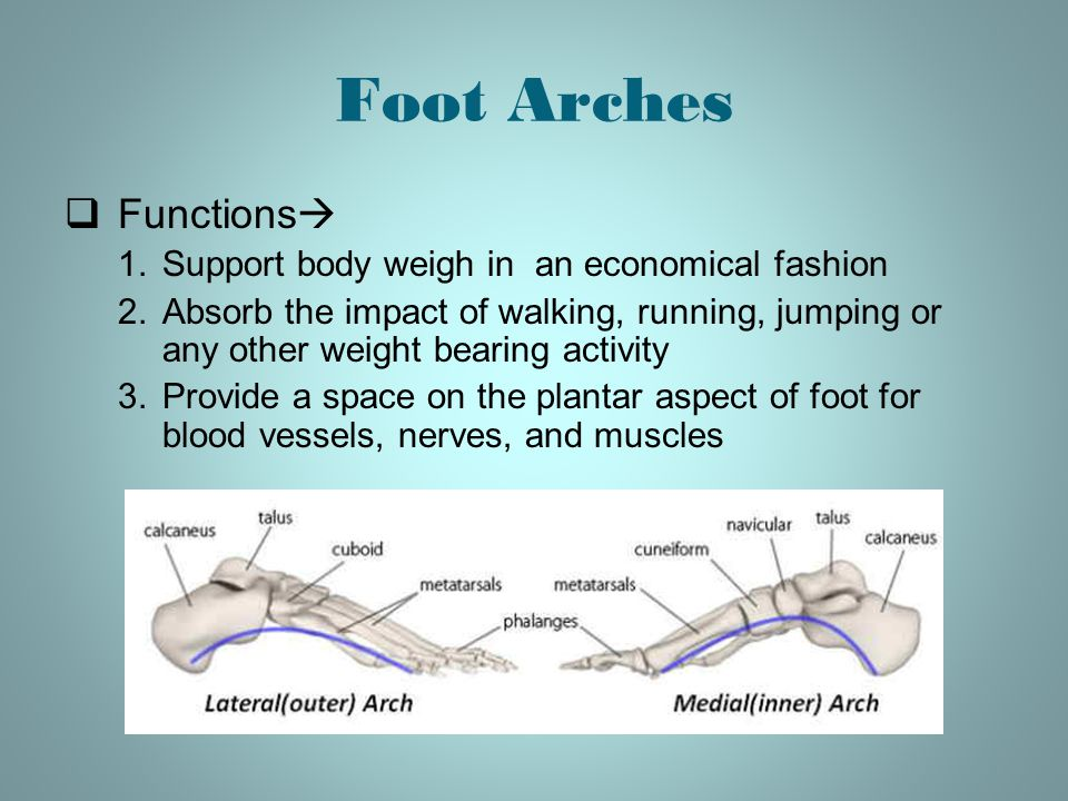 Foot Arches Functions Support body weigh in an economical fashion