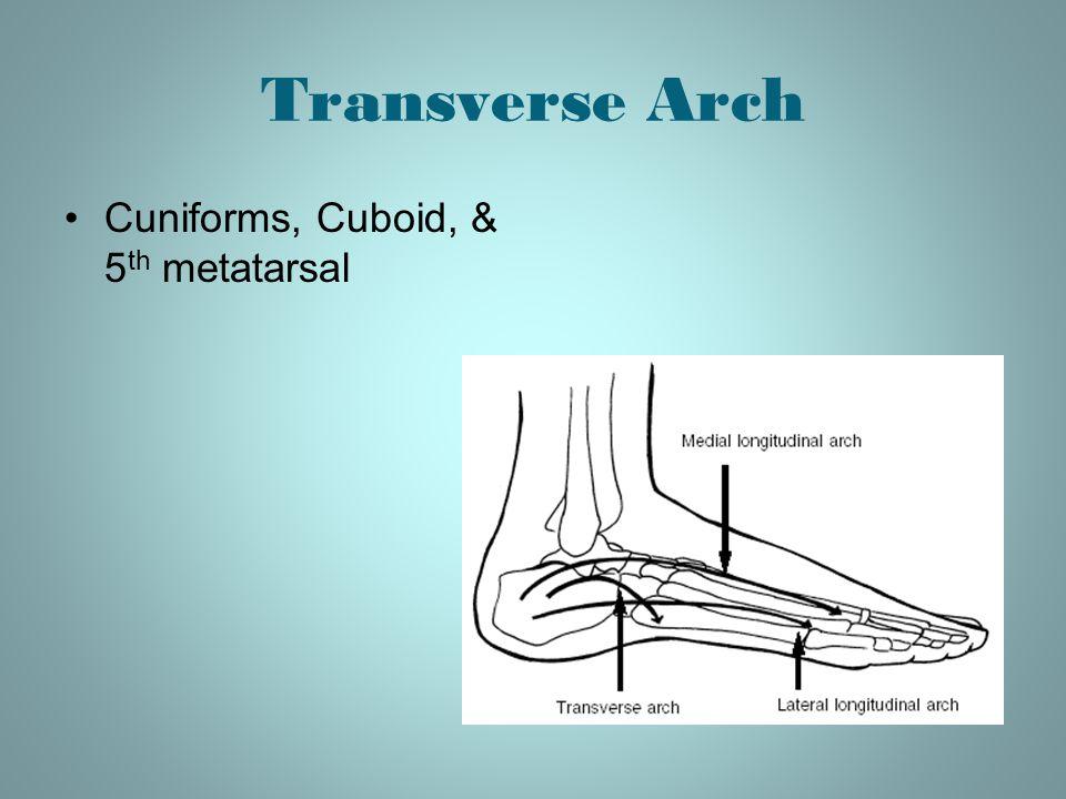 Transverse Arch Cuniforms, Cuboid, & 5th metatarsal