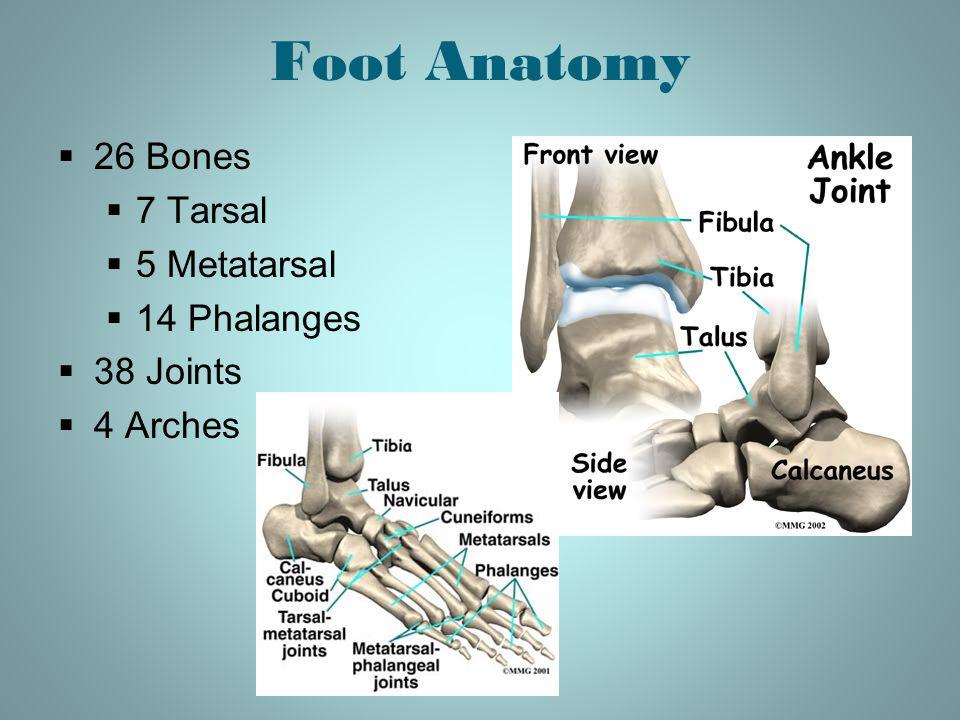 Foot Anatomy 26 Bones 7 Tarsal 5 Metatarsal 14 Phalanges 38 Joints