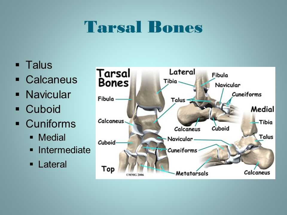 Tarsal Bones Talus Calcaneus Navicular Cuboid Cuniforms Medial