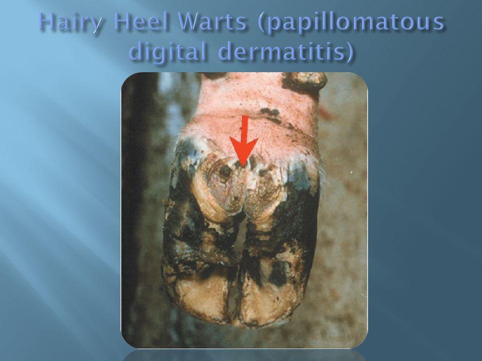 Hairy Heel Warts (papillomatous digital dermatitis)