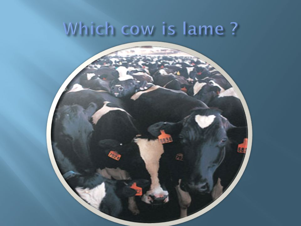 Which cow is lame