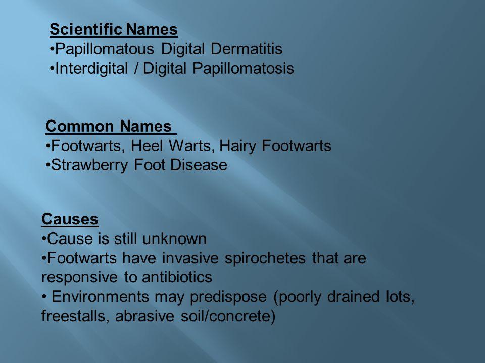 Scientific Names Papillomatous Digital Dermatitis Interdigital / Digital Papillomatosis. Common Names.