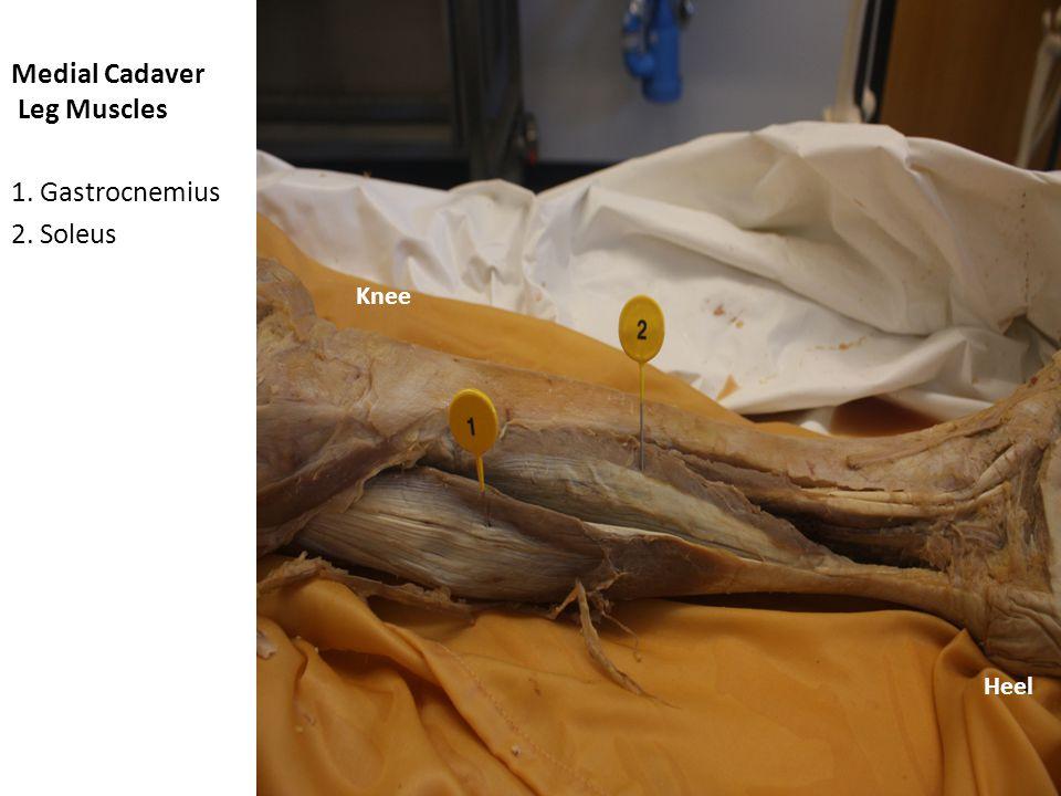 Medial Cadaver Leg Muscles