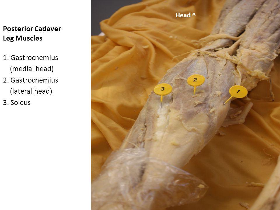 Posterior Cadaver Leg Muscles