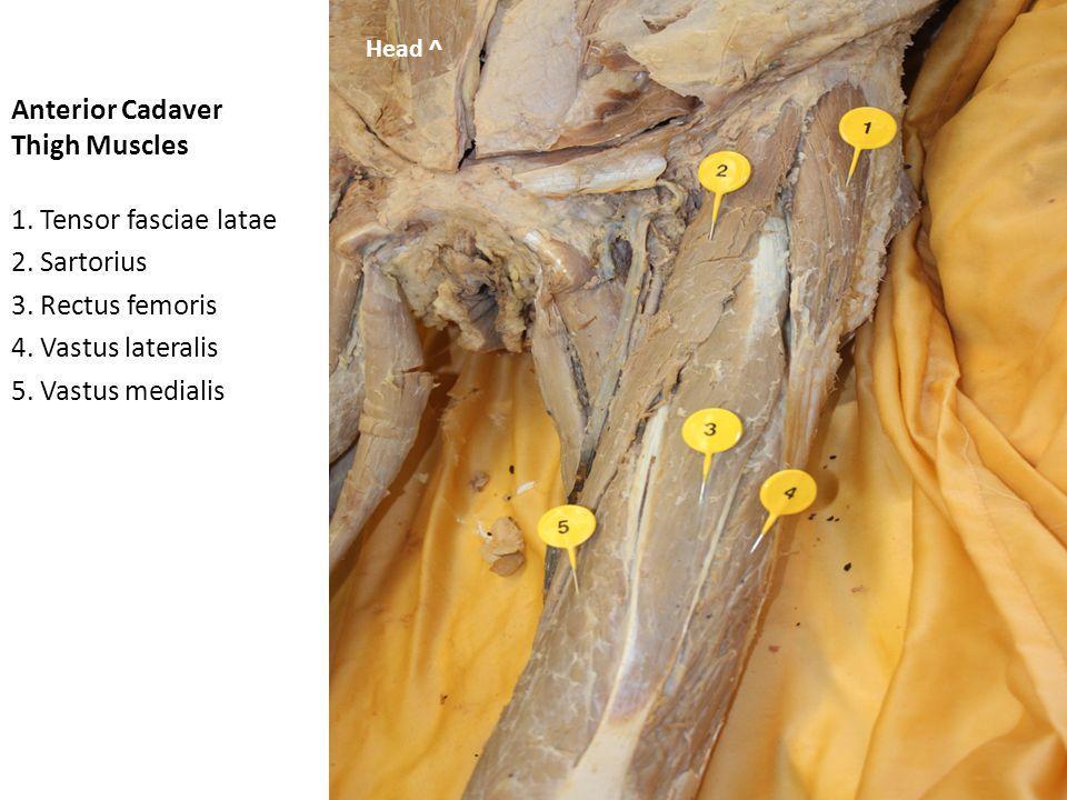 Anterior Cadaver Thigh Muscles