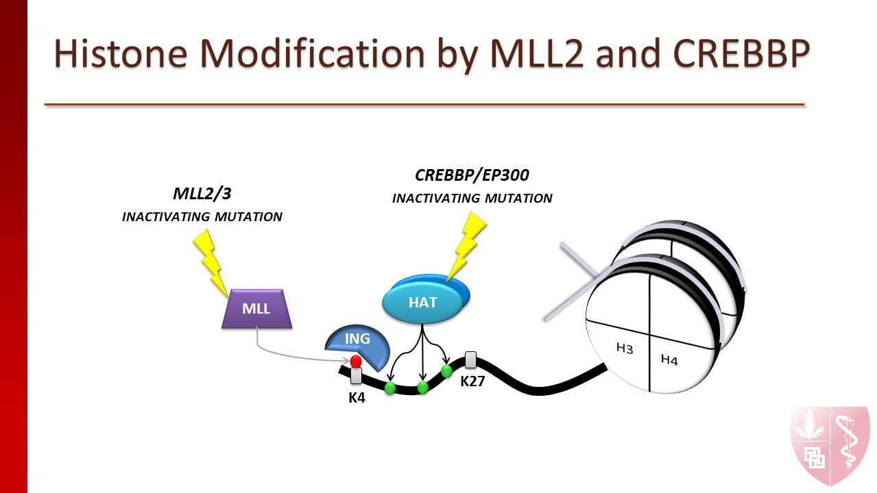 Histone Modification by MLL2 and CREBBP