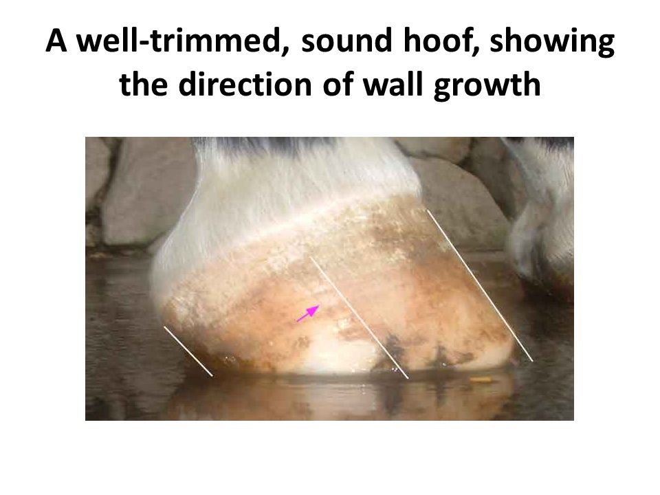 A well-trimmed, sound hoof, showing the direction of wall growth