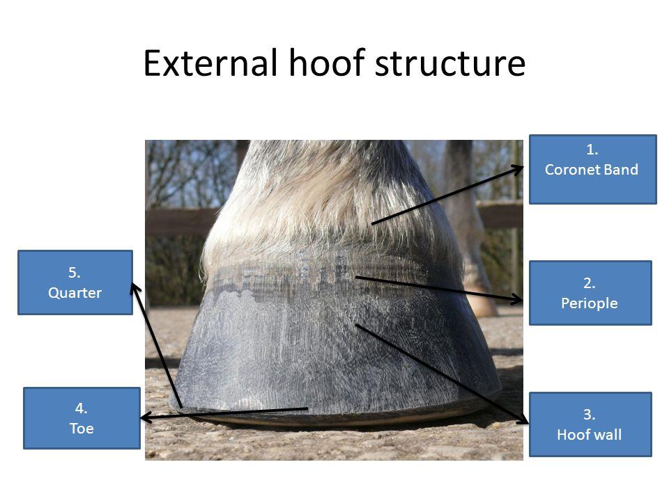 External hoof structure