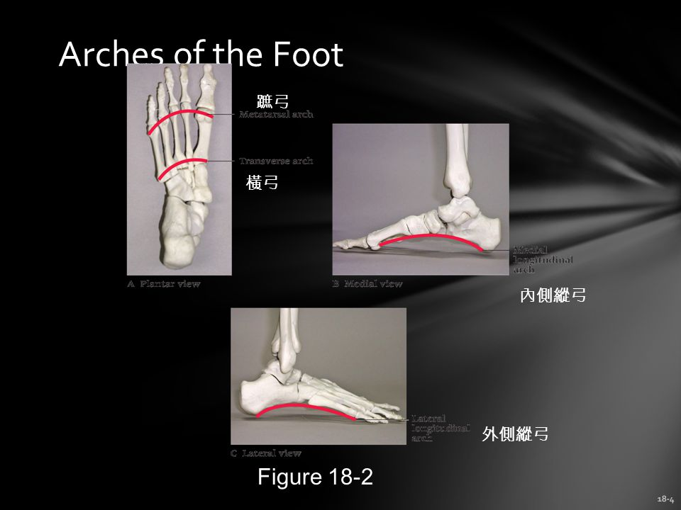 Arches of the Foot 蹠弓 橫弓 內側縱弓 外側縱弓 Figure 18-2