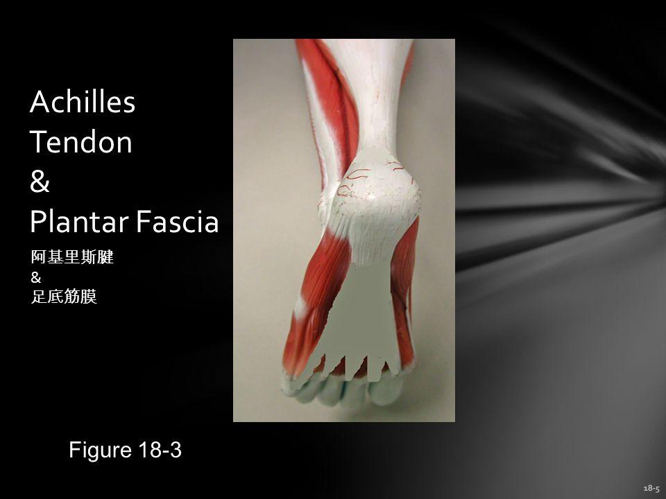 Achilles Tendon & Plantar Fascia