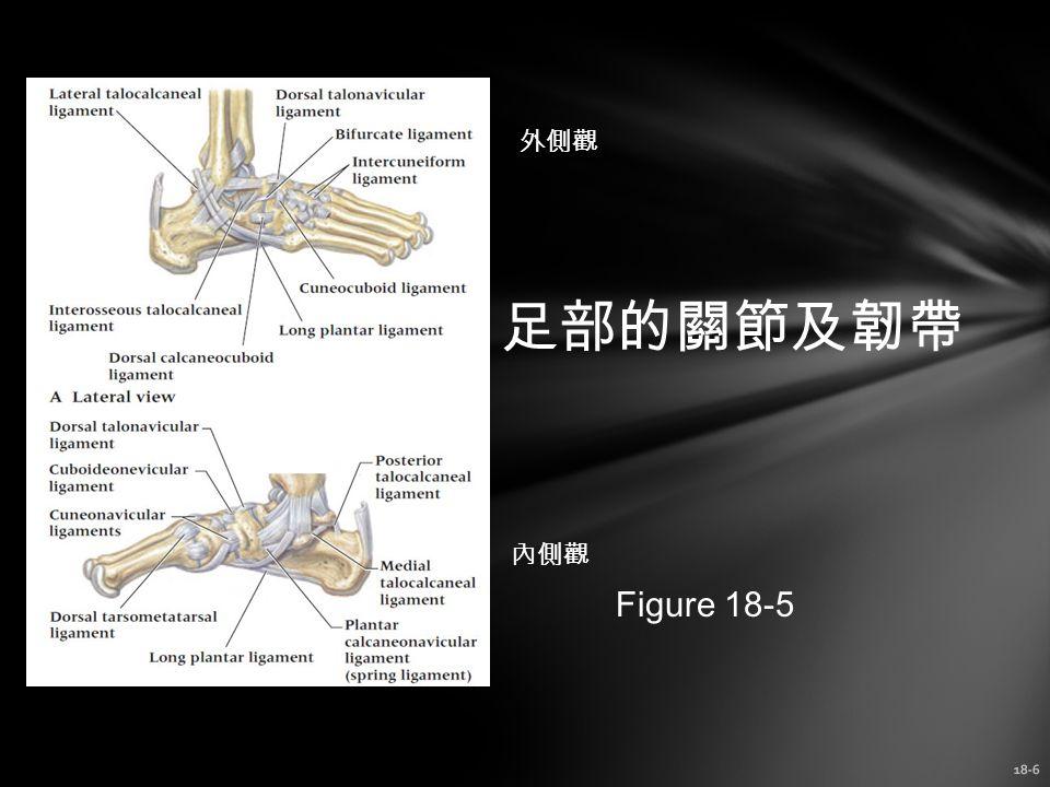 外側觀 足部的關節及韌帶 內側觀 Figure 18-5