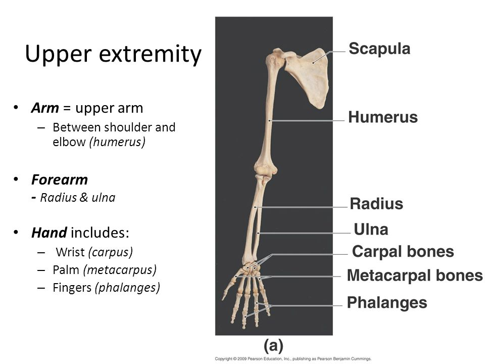 Upper extremity Arm = upper arm Forearm - Radius & ulna Hand includes:
