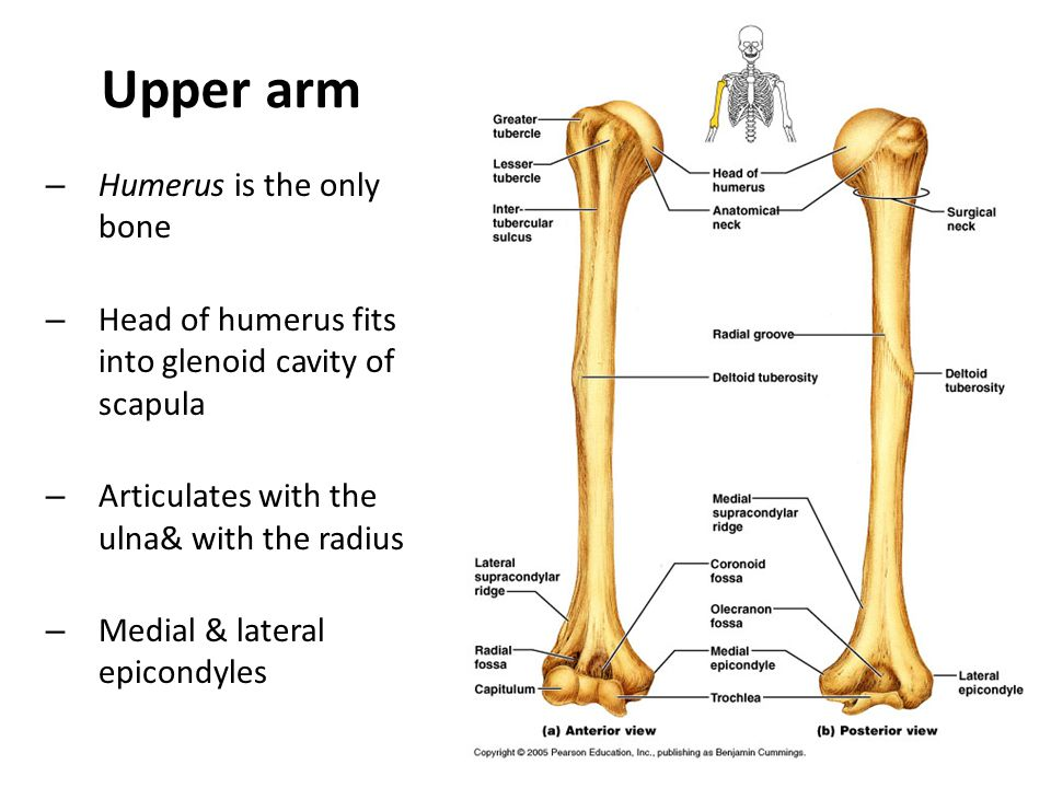 Upper arm Humerus is the only bone