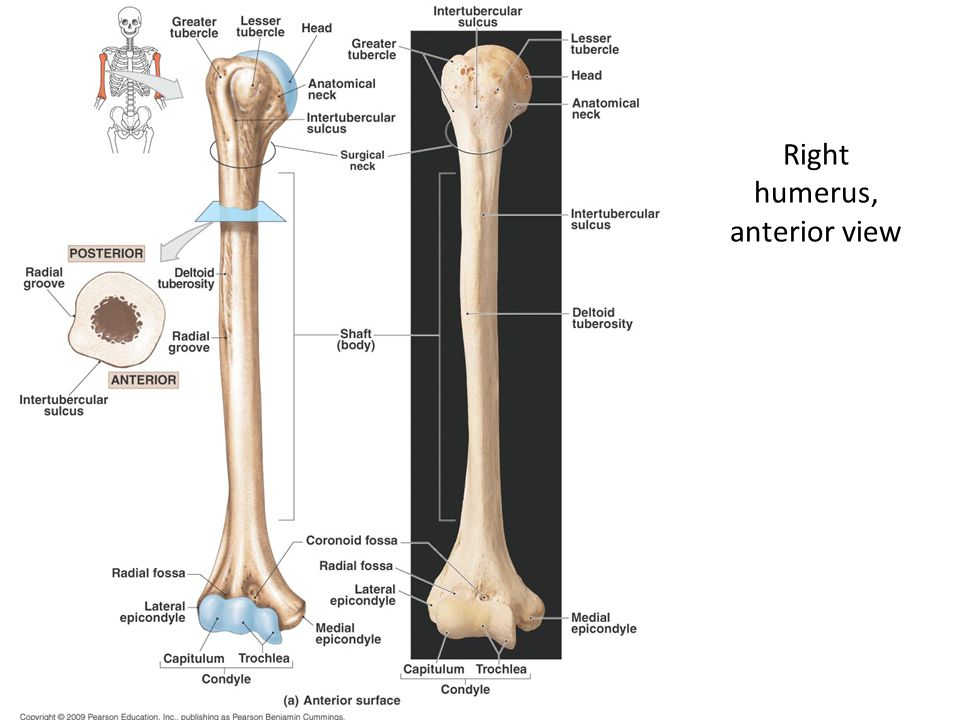 Right humerus, anterior view