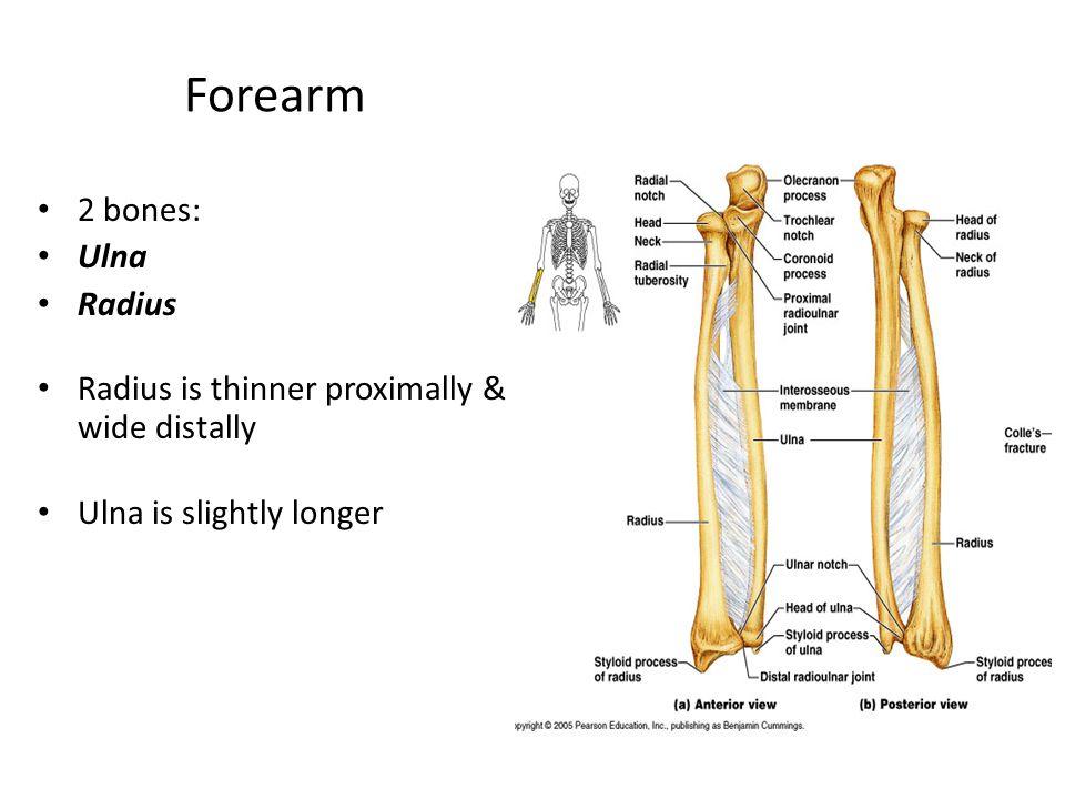 Forearm 2 bones: Ulna Radius