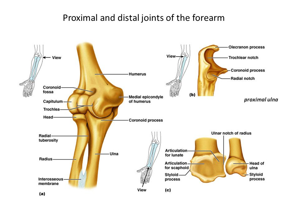 Proximal and distal joints of the forearm