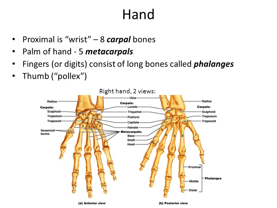 Hand Proximal is wrist – 8 carpal bones Palm of hand - 5 metacarpals