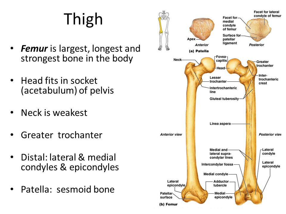 Thigh Femur is largest, longest and strongest bone in the body