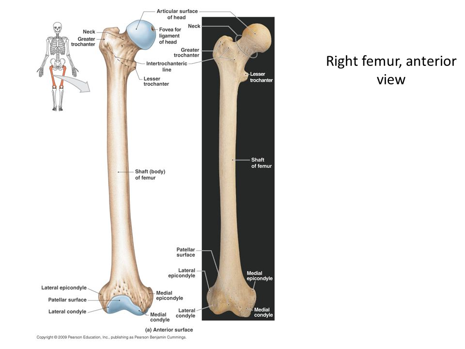 Right femur, anterior view
