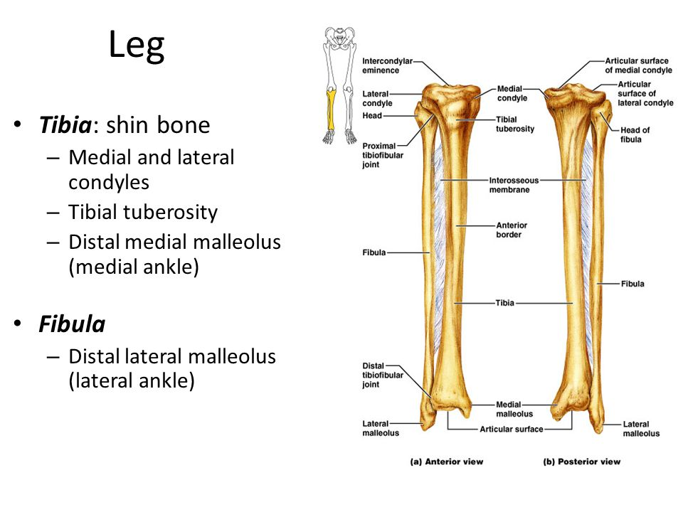Leg Tibia: shin bone Fibula Medial and lateral condyles